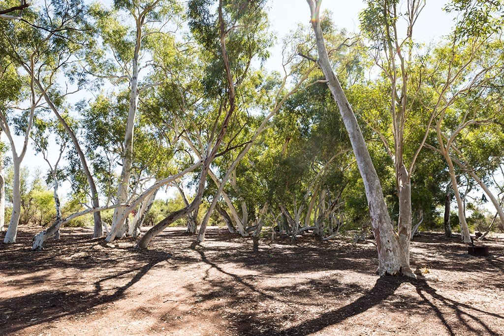 Camping area at Well 6 underneath the ghost gums