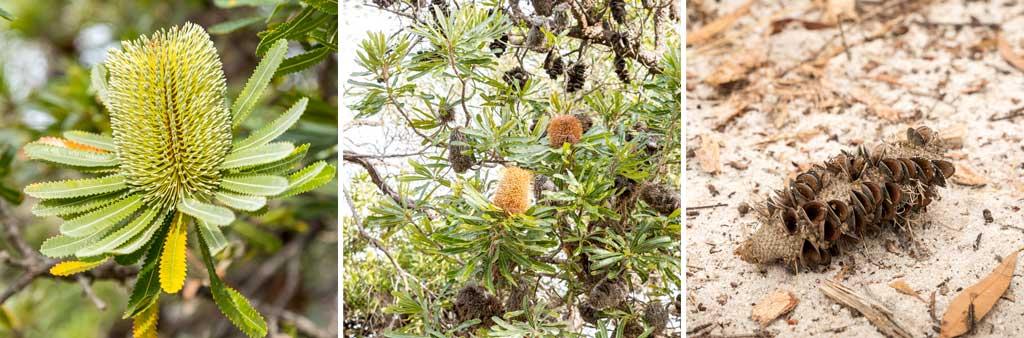three banksia flowers