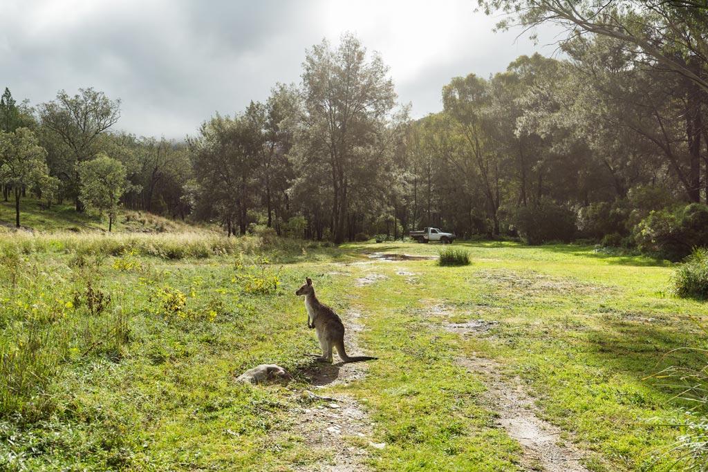 Kangaroo at Burrows Waterhole - Sundown National Park
