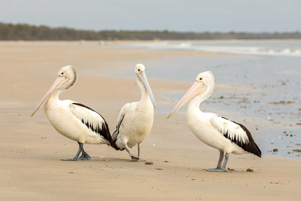 Three pelicans on the beach