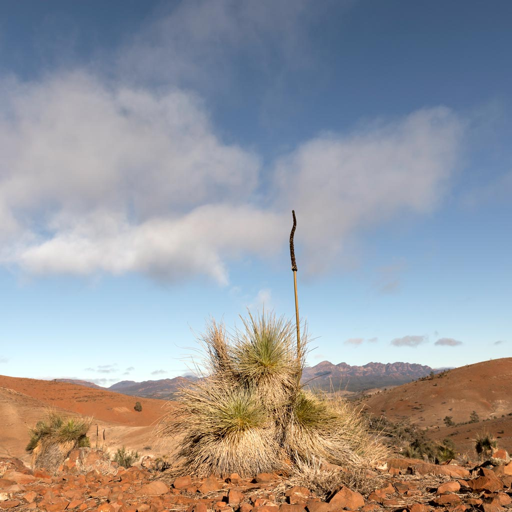 Grass tree in the Flinders Ranges