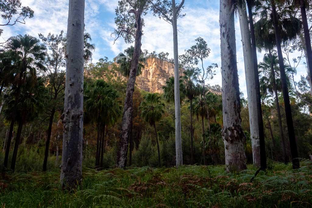 Views through the trees to the sandstone escarpments - Carnarvon Gorge Walking Tracks