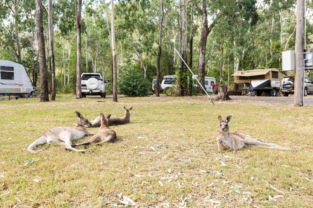 Kangaroos laying on the ground