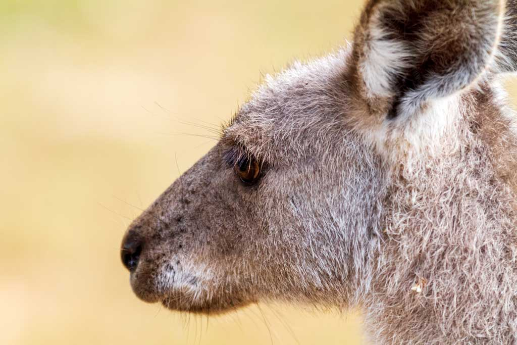 Up close picture of a kangaroo