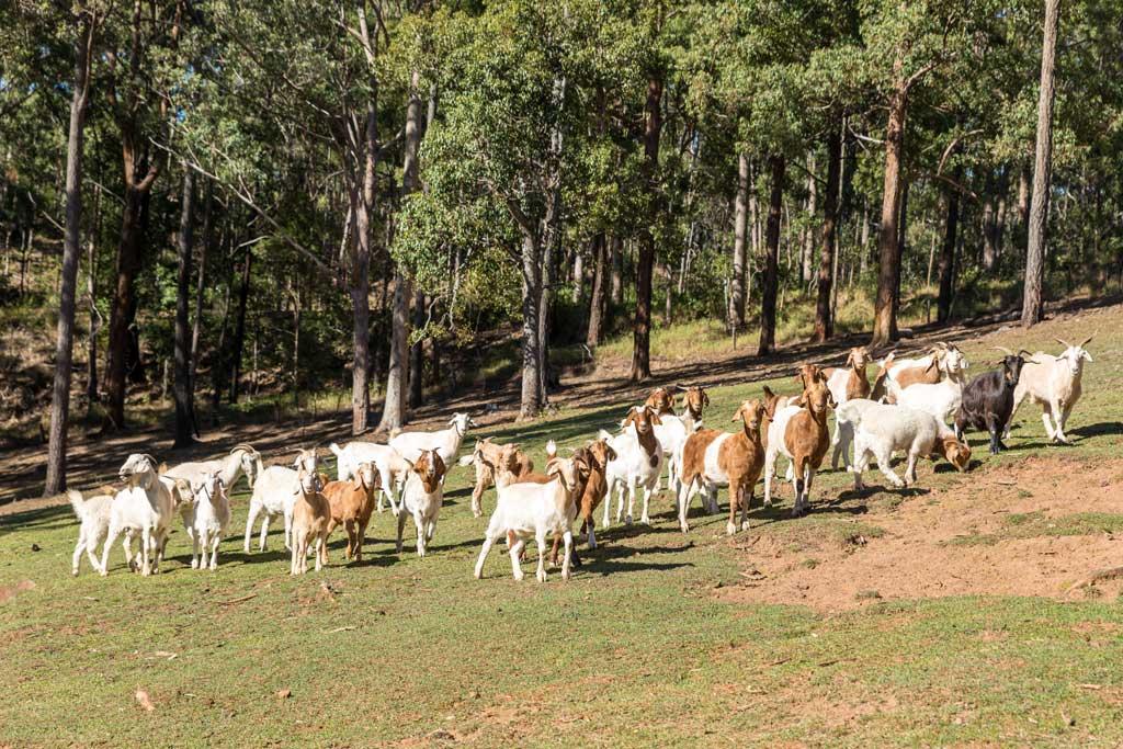a herd of goats